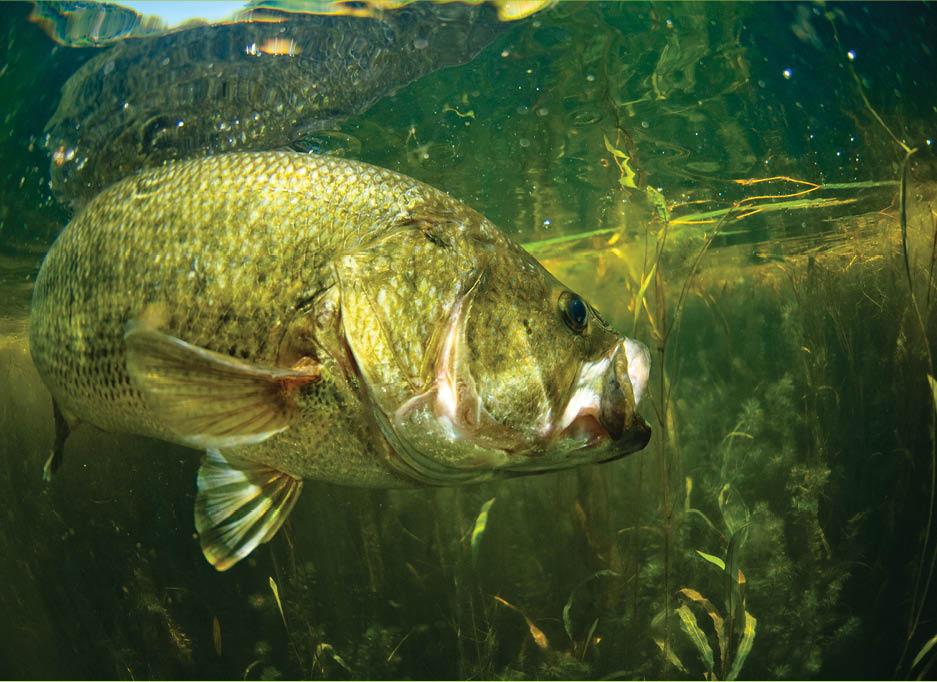 Fisheries: A largemouth bass